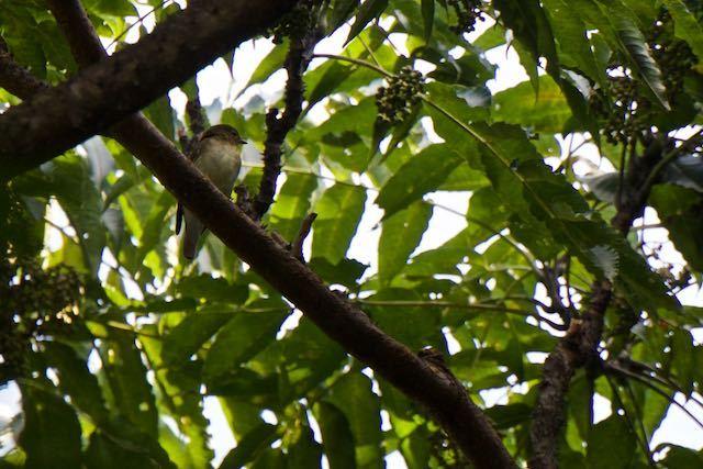 裏山 カラスザンショウを採食していたキビタキ♀ _DSC3803.jpg