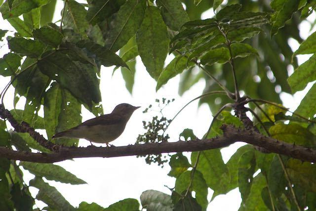 裏山 キビタキ♀は2羽見られた _DSC5198.jpg