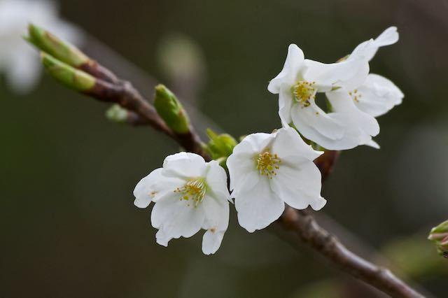 裏山 咲き始めたオオシマザクラ _DSC5555.jpg