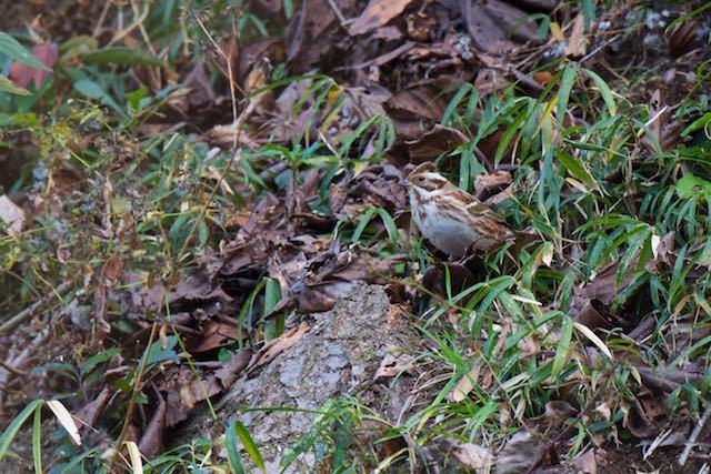 裏山 地上で採食していたカシラダカ _DSC4193.jpg