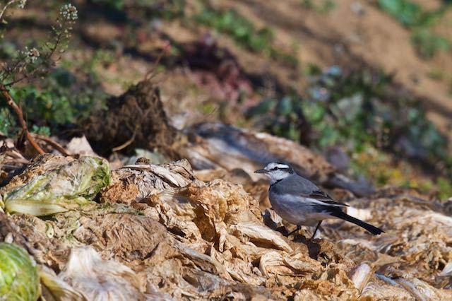 裏山 廃棄野菜の上で採食するハクセキレイ _DSC6440.jpg