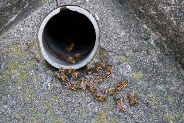 裏山 排水口でスズメバチと対決するニホンミツバチ _DSC3300.jpg
