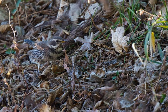 裏山 日陰の斜面で採食していたツグミ _DSC9106.jpg