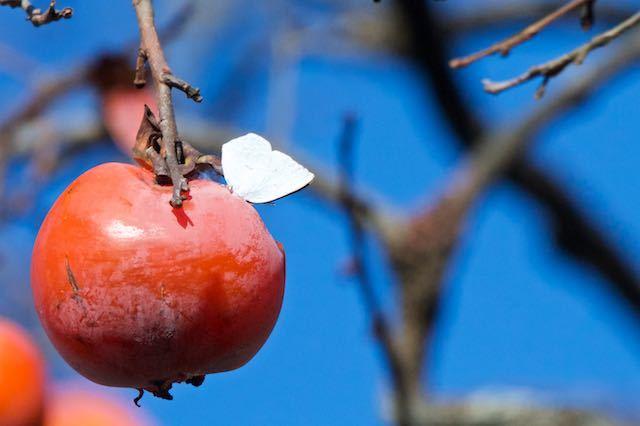 裏山 柿を吸蜜するウラギンシジミ _DSC8799.jpg