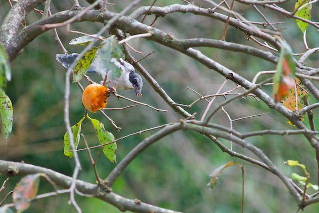 裏山 柿を食べるオナガ1 _DSC5888,jpg.jpg
