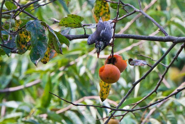 裏山 柿を食べるムクドリ _DSC3744.jpg
