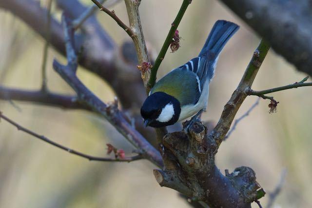 裏山 梅の木で獲物を探すシジュウカラ _DSC6653.jpg