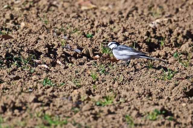 裏山 畑で小さな幼虫を食べるハクセキレイ _DSC3379.jpg