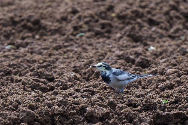 裏山 畑で幼虫を食べるハクセキレイ _DSC3547.jpg