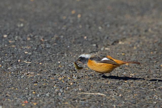 裏山 道路で幼虫を捕まえたジョウビタキ♂ _DSC8994.jpg