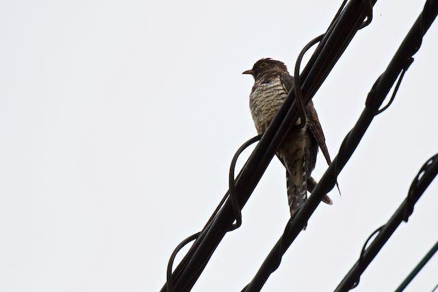 裏山 電線に止まるツツドリ幼鳥 _DSC7250.jpg