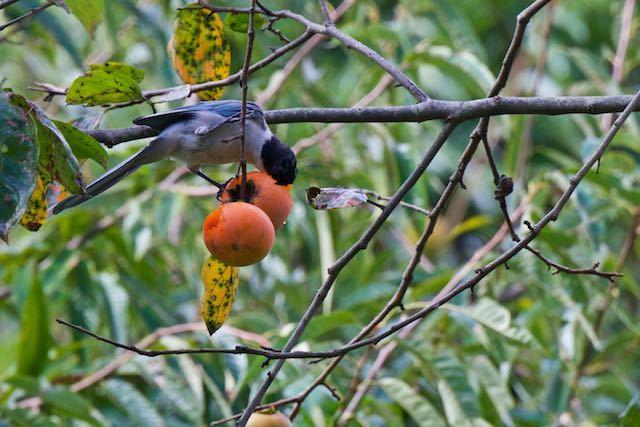裏山 顔を柿に突っ込んで食べるオナガ1 _DSC3778.jpg
