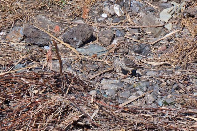 金井遊水池 中洲で採食していたタヒバリ _DSC0637.jpg