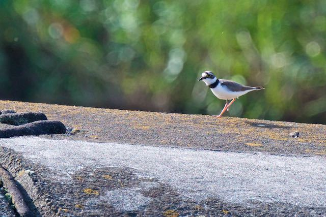 金井遊水池 仕切り堤防で採食するコチドリ _DSC8170.jpg