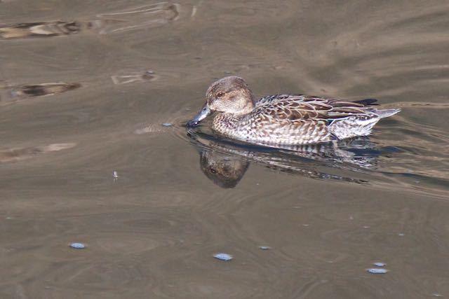 金井遊水池 水面で採食するコガモ♀ _DSC0581.jpg
