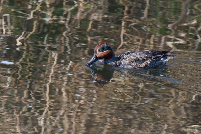 金井遊水池 水面で採食するコガモ♂ _DSC0776.jpg