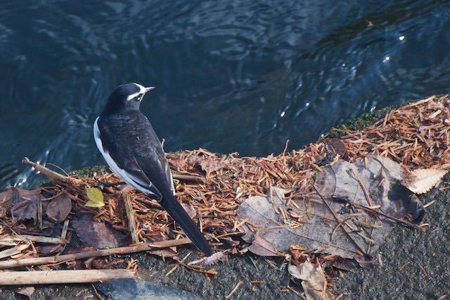 金井遊水池 遊水池を出た所で見られたセグロセキレイ _DSC3845.jpg