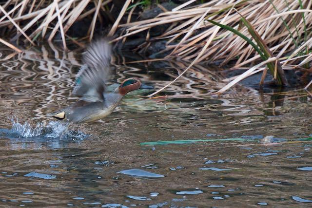 金井遊水池 飛び立つコガモ _DSC3728.jpg