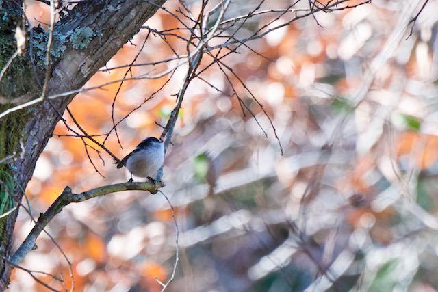 鎌倉山崎 ハンノキ林で採食していたエナガ _DSC3583.jpg