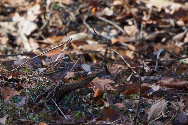 鎌倉山崎 湿地で採食するカシラダカ _DSC9788.jpg