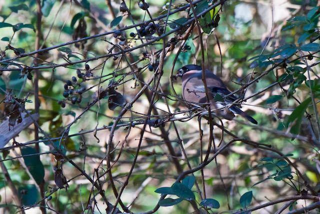 鎌倉山崎 黒い木の実を食べるウソ _DSC3555.jpg