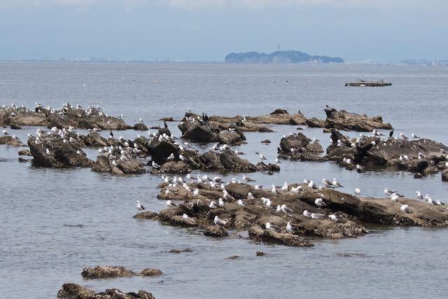 長井 岩礁で休むウミネコ _DSC7630.jpg