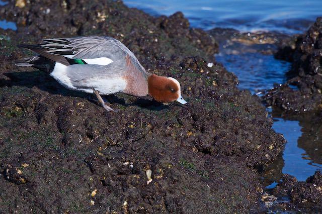 長井 岩礁で藻類を食べるヒドリガモ♂ _DSC1361.jpg