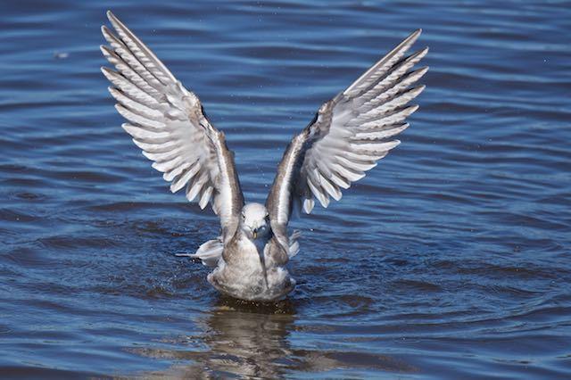 長井 水浴び後、羽ばたくウミネコ _DSC2795.jpg
