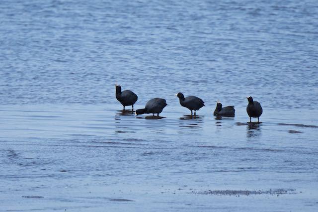 長井 浅瀬に来て水分を補給するオオバン _DSC8856.jpg