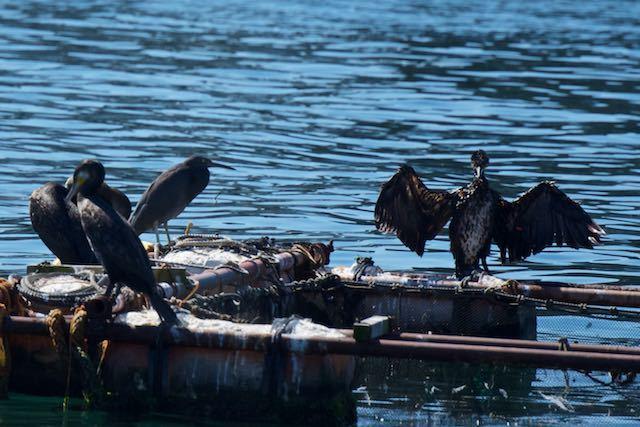 長井 生簀の筏で休むクロサギ _DSC2632.jpg