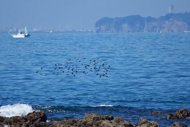 長井 群れで海上を渡るヒヨドリ _DSC2660.jpg