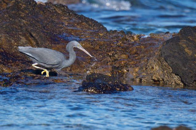 長井 魚を捕り損なったクロサギ2 _DSC3687.jpg