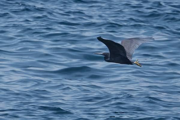 城ヶ島 沖に飛んで行くクロサギ _DSC0046.jpg
