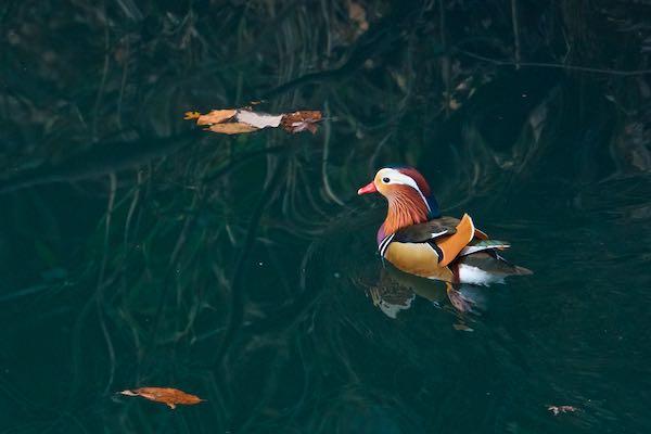 散在ガ池森林公園 オシドリ♂ _DSC9910.jpg