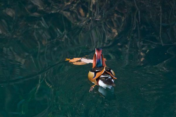 散在ガ池森林公園 オシドリ♂の後ろ姿 _DSC9916.jpg