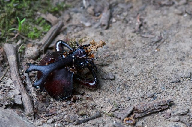 瀬上市民の森 天敵に食べられたカブトムシ♂ _DSC2188.jpg