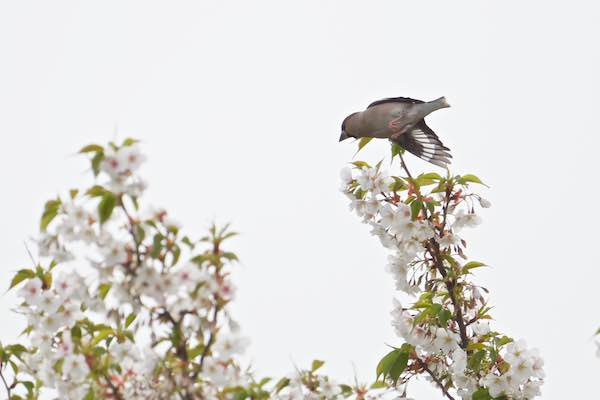 瀬上市民の森 桜に飛んで行くシメ _DSC8690.jpg