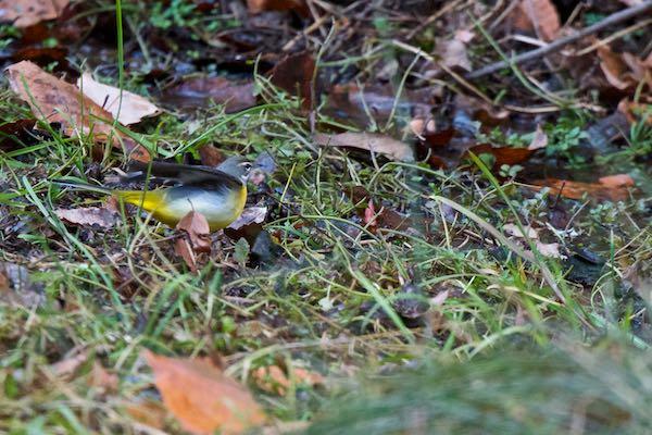 瀬上市民の森 池の上休憩所の濾過池で採食していたキセキレイ _DSC9479.jpg