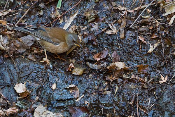 瀬上市民の森 池の下広場の小川の岸で採食するシロハラ _DSC9623.jpg