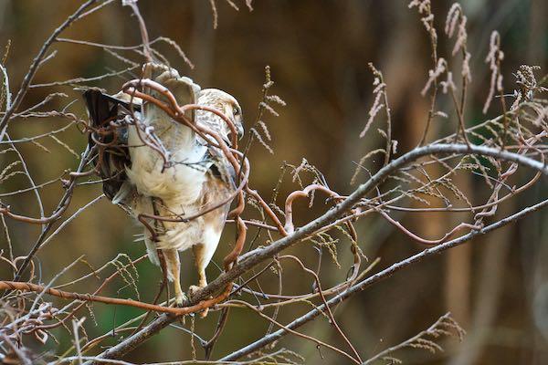 瀬上市民の森 獲物を探すノスリ _DSC9733.jpg