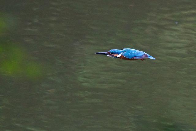 瀬上市民の森 飛びたつカワセミ2 _DSC2235.jpg