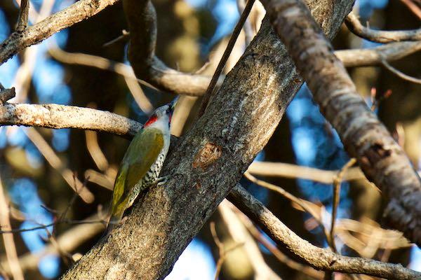 舞岡公園 南門近くの落葉樹に飛んで来たアオゲラ♀1 _DSC9226.jpg