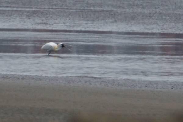 葛西臨海公園 東渚で採食していた夏羽のクロツラヘラサギ _DSC9126.jpg