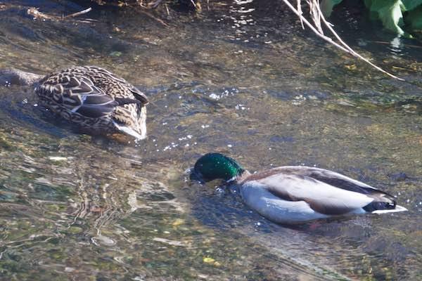 金井遊水池 水中に顔を突っ込んで採食するマガモ♀♂ _DSC0495.jpg