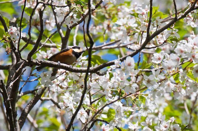 天園ハイキング 桜でよく見られたヤマガラ _DSC0717.jpg