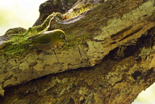 天園ハイキング 獅子舞谷の朽木で採食するメジロ _DSC0819.jpg