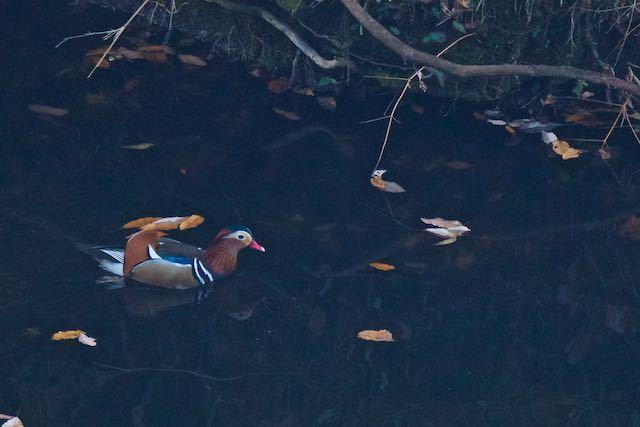 散在ガ池森林公園 群れで見られないオシドリ♂  _DSC3931.jpg