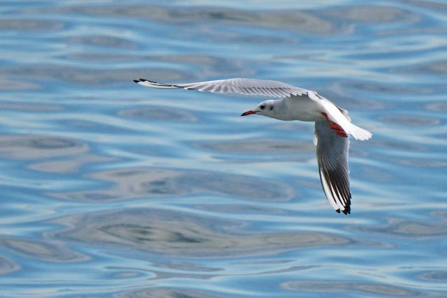新浦安 低空から魚を狙うユリカモメ _DSC1867.jpg