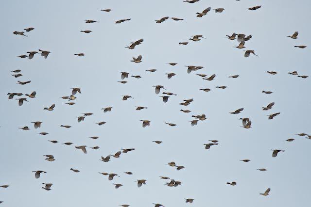 江の島 ヒヨドリの大きな群れ _DSC8181.jpg