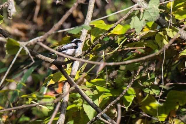 瀬上市民の森 なかよし田圃の奥に出て来たエナガ _DSC4983.jpg